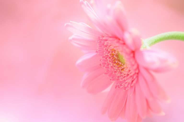 光を浴びるピンクのガーベラ