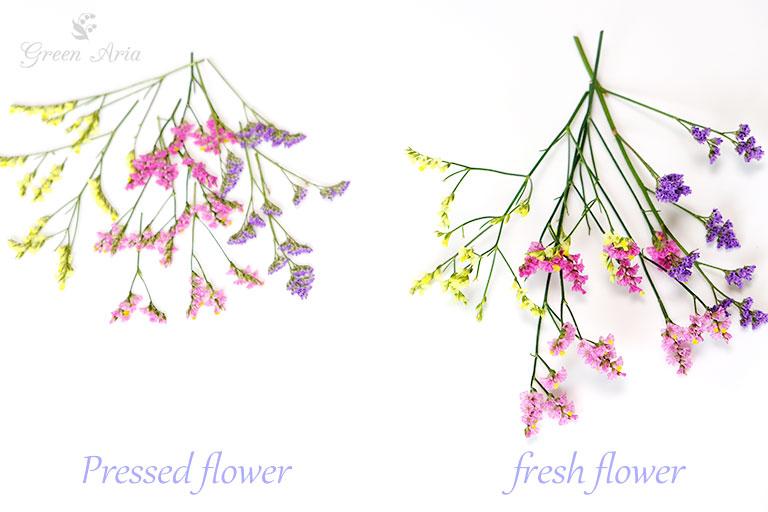イエローピンクバイオレットのスターチスの生花と押し花