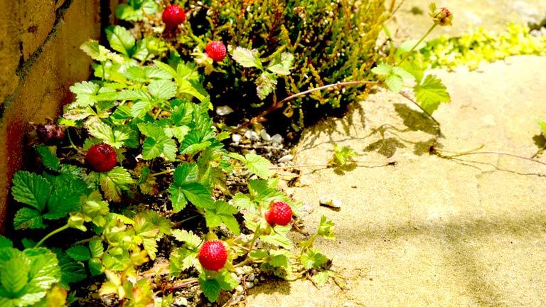 赤い実が付いたヘビイチゴレンガの花壇の足下に広がっている