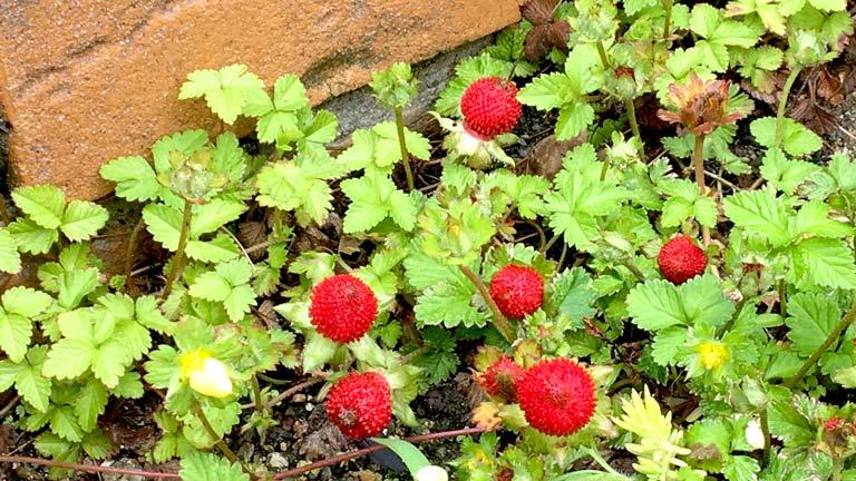 グランドカバーになっているヘビイチゴ赤い実が可愛い