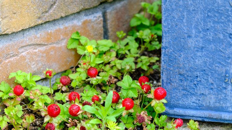 ヘビイチゴの赤い実がたくさんついている。30cm四方に16粒ほどある