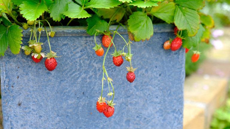 青い鉢に植えられた赤いイチゴの実、ワイルドストロベリー。鉢から垂れるイチゴがおいしそう。食べられる小さなイチゴのワイルドストロベリー。