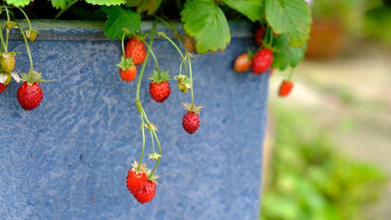 青い鉢に植えられたワイルドストロベリー。赤く小さなイチゴの実が3~6個ずつかたまって鉢の口から垂れている。