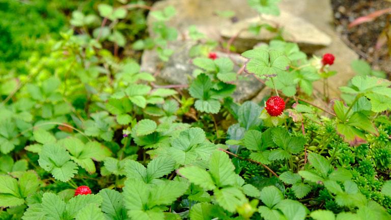 10月秋のヘビイチゴ実がなっている