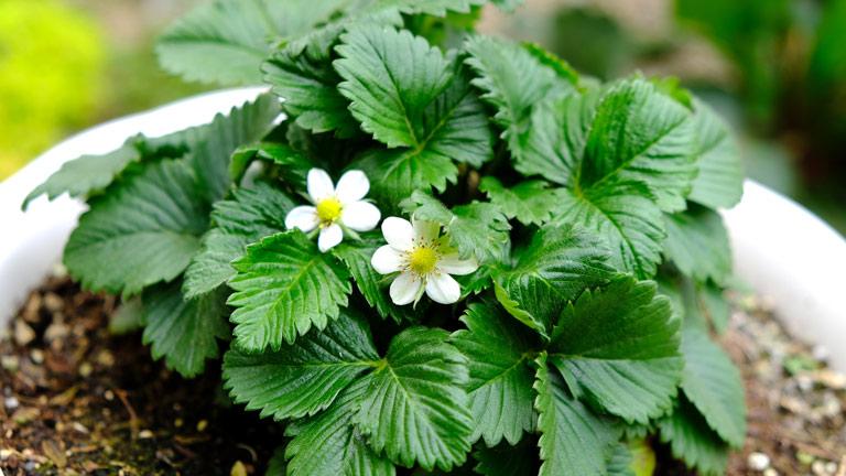葉っぱの間から白く小さな5枚の花びらの花が2輪、顔を出している。ワイルドストロベリーの小さな白い花。