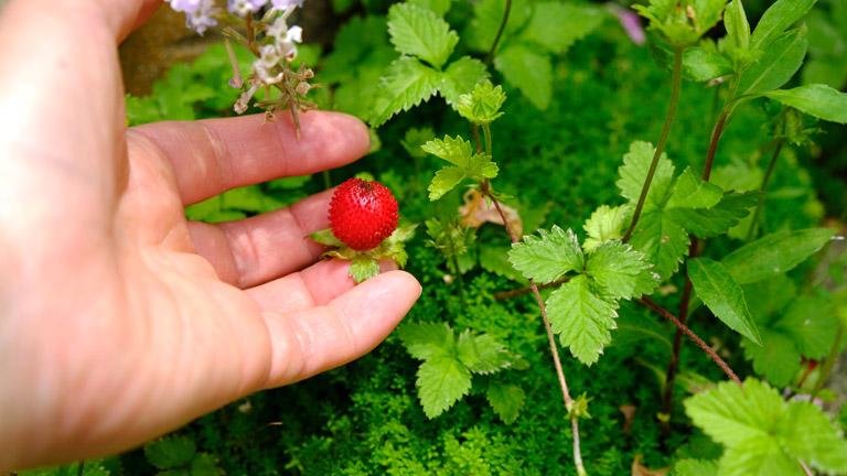 まん丸とした小さい赤い実のヘビイチゴをさわているところ。小指の先ほどの大きさ。