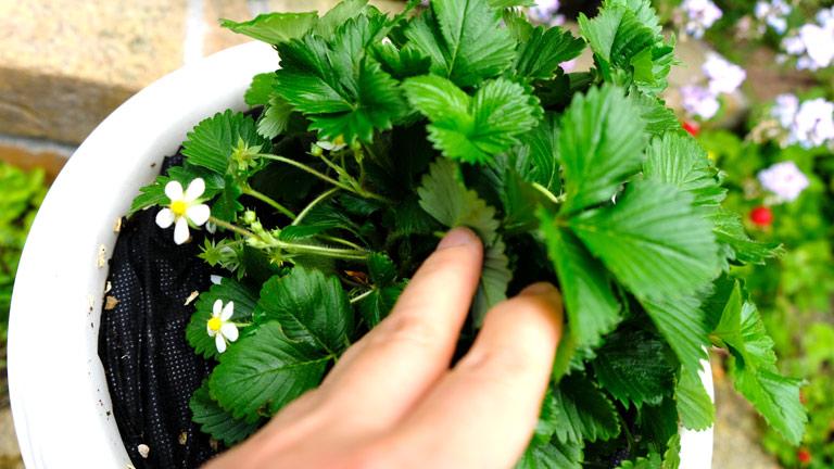 ワイルドストロベリーの葉っぱの中心を手で開いてみている。