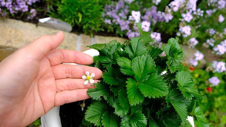 三枚葉のワイルドストロベリー。葉っぱの中から小さな白いお花。手に取ってみる。