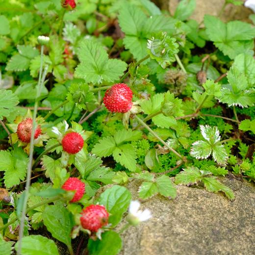 石の間から沢山の葉を茂らせるヘビイチゴ。赤い実が4個ほど上を向いてなっている。