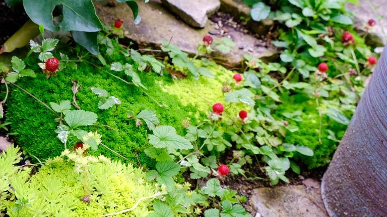 青い鉢と赤いヘビイチゴのみとグリーンのセダムの色合いが美しい。