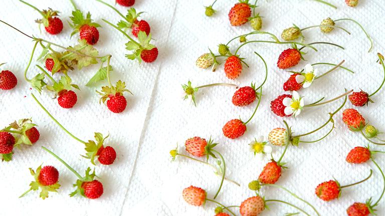 ワイルドストロベリーとヘビイチゴを収穫し、キッチンペーパーの上に約20個ずつ並べている。