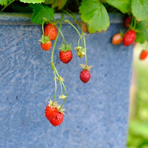 青い鉢から垂れ下がるワイルドストロベリーの実が5~4個まとまって垂れ下がっている