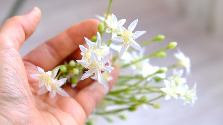 小さな白い花を数輪手に持っている様子。アーティフィシャルフラワーのオオアマナのアップ。