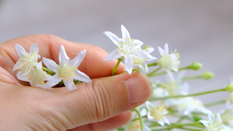 中心にロウソクが付いているような白い花のオオアマナの数輪を手に持っている様子
