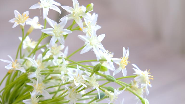 白い星のような花がスプレーのように咲いているオオアマナの造花