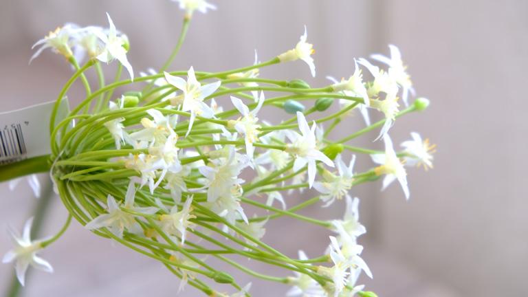 星のような白い花のオオアマナ、アーティフィシャルフラワー