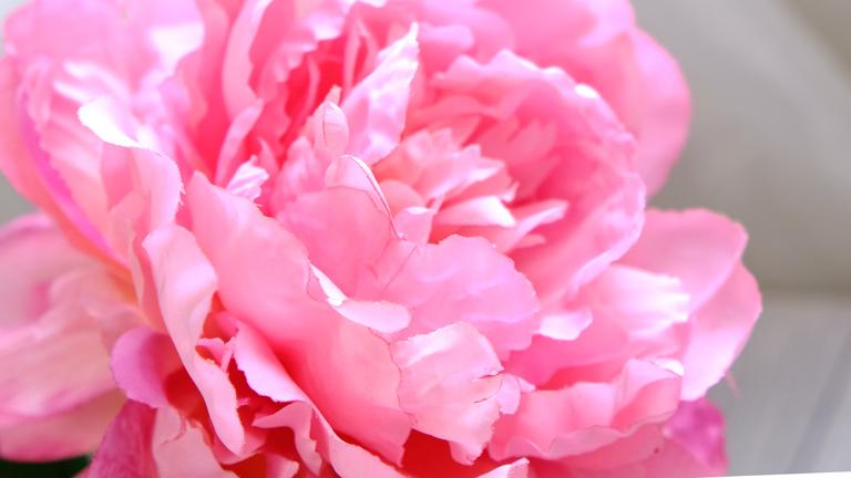ピンクのグラデーションがとても美しい、中心が少しオレンジみ。花びらのウエーブがとても綺麗なプレシャスピオニー