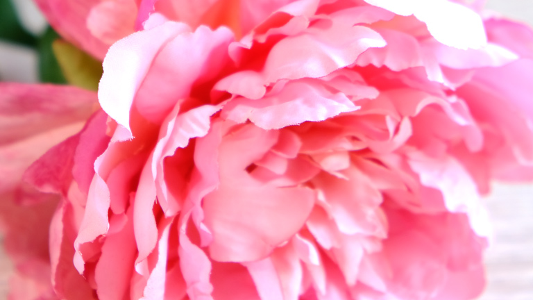 美しい花びら。1枚1枚形が違う。ピンクのグラデーションが綺麗なピオニー