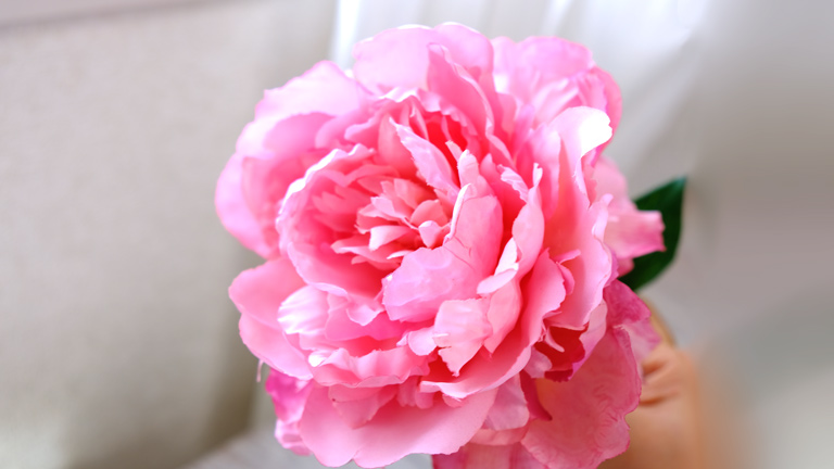 バラ咲きの芍薬のアップ。ピンクの花びらにウエーブがかかり、エレガントで豪華。