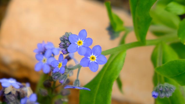 2つ並んだワスレナグサの青い花が可愛い。