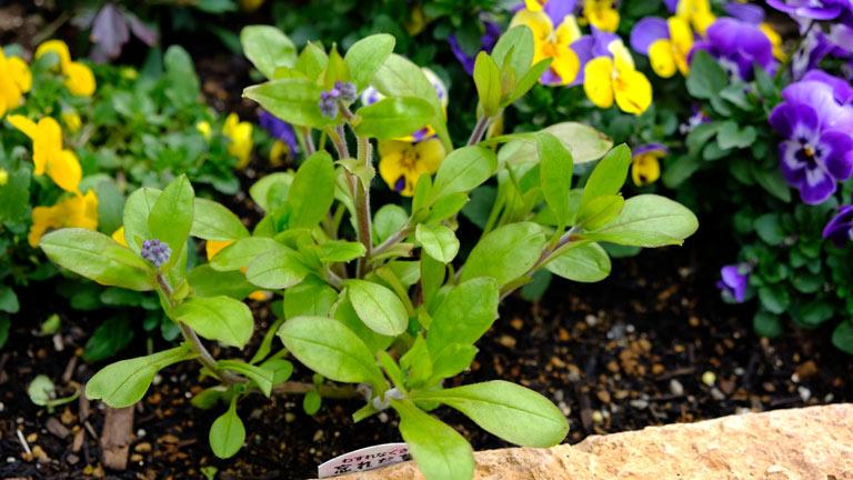 青いワスレナグサ、花をカットし葉とくきだけになっている。