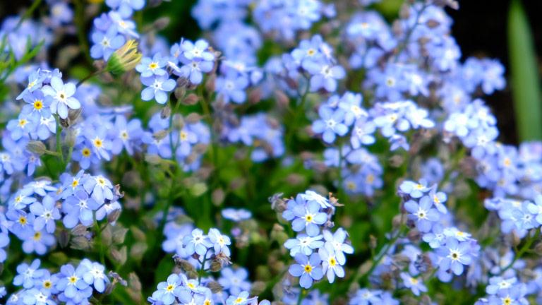 水色の小さなお花が2~3輪かたまっていくつも顔をだしている。