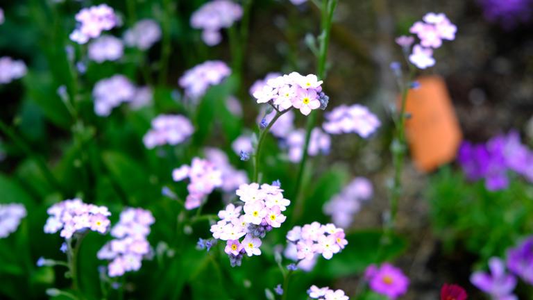 1cmみたないピンクの5枚花弁のお花が1茎に6輪以上ついている。たくさん茎を出し揺れるピンクの花がかわいい。ワスレナグサのピンク。