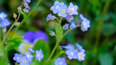 水色の勿忘草。茎の先端に5㎜ほどの小さな青いお花を数輪つけている。