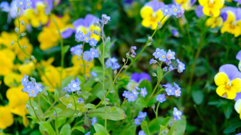 青いワスレナグサは、ビオラと一緒に植えられビオラのバイカラーイエローとブルーによくなじんでいる。
