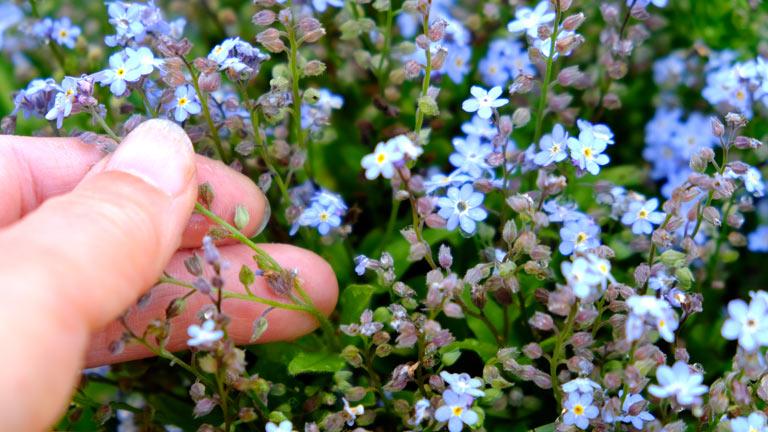 花の下に、茶色い小さな実(種)ができているワスレナグサ。