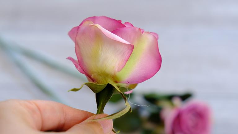 外側の花びらがクリームで縁がピンク色で本物のバラみたい。