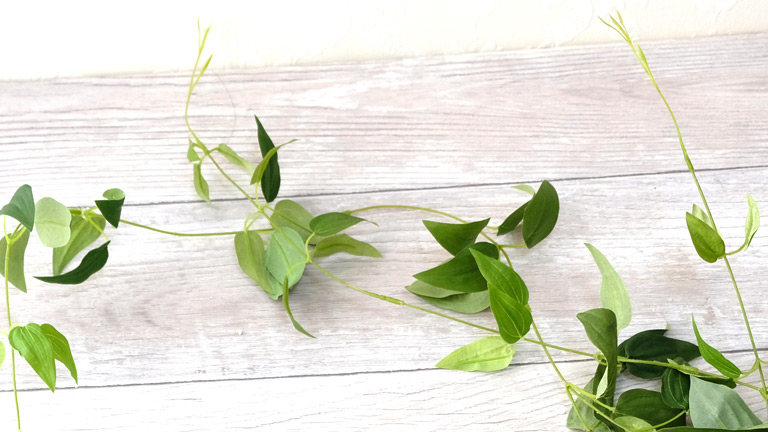 細長いライトグリーンの茎に5cm前後の卵形の葉が空間を空けながら付いている。リキュウソウ。