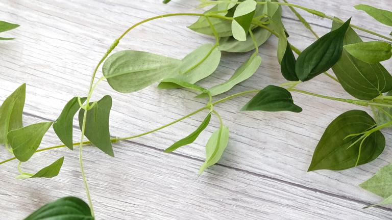 グリーンの卵形の葉のついたつる性植物のリキュウソウ