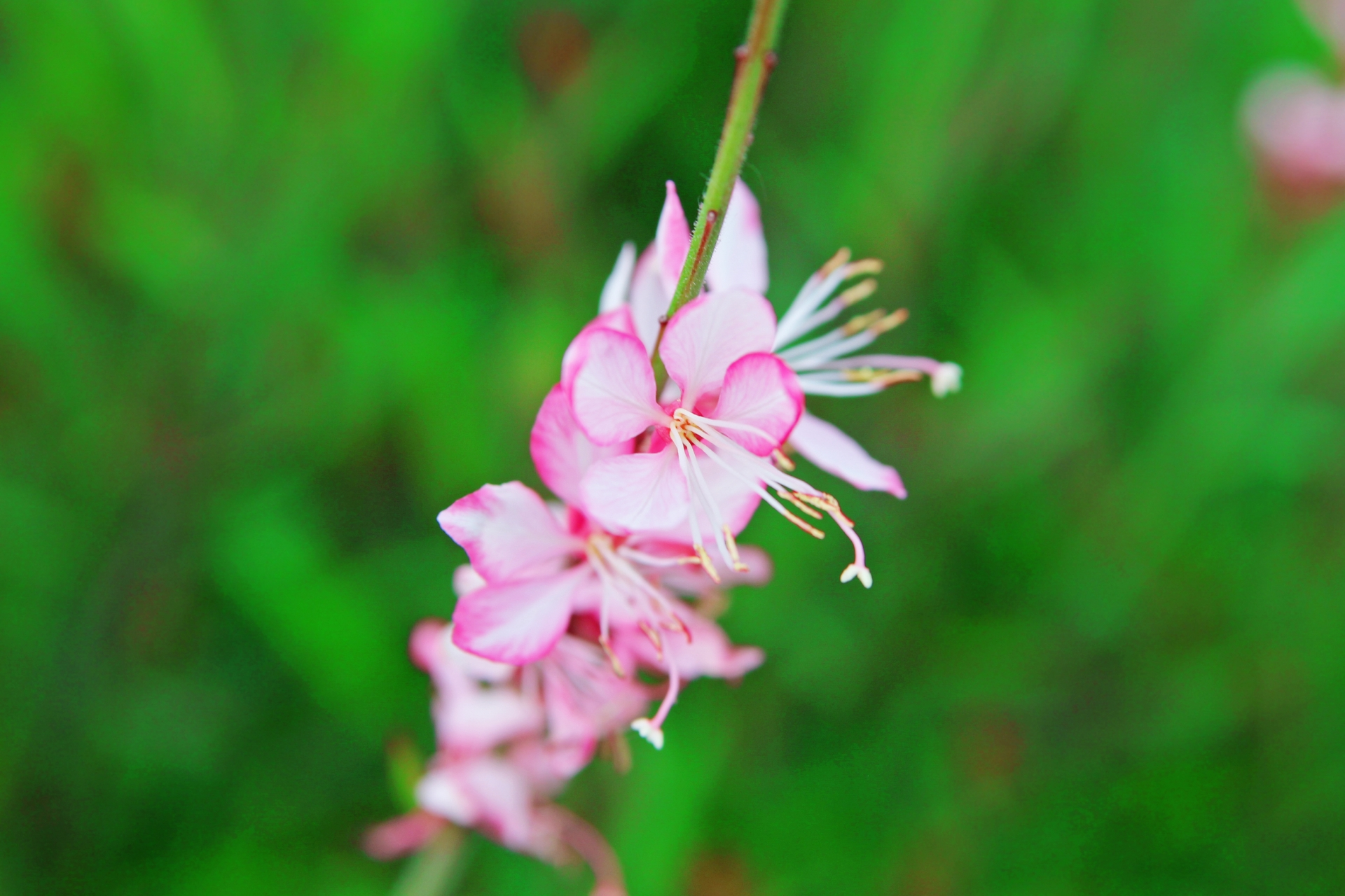 白いお花の縁がピンクのガウラ