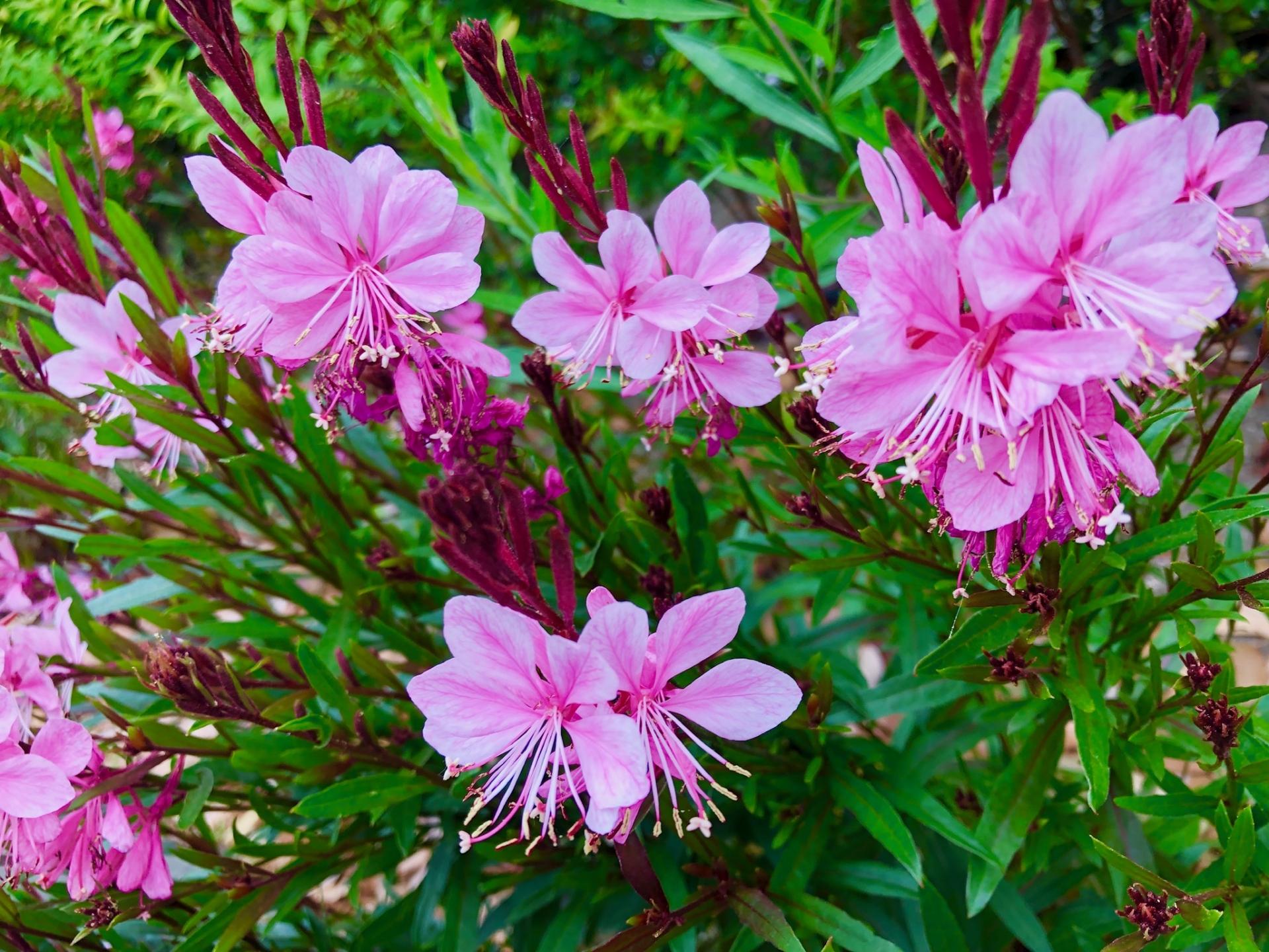 青みピンクのお花ガウラ