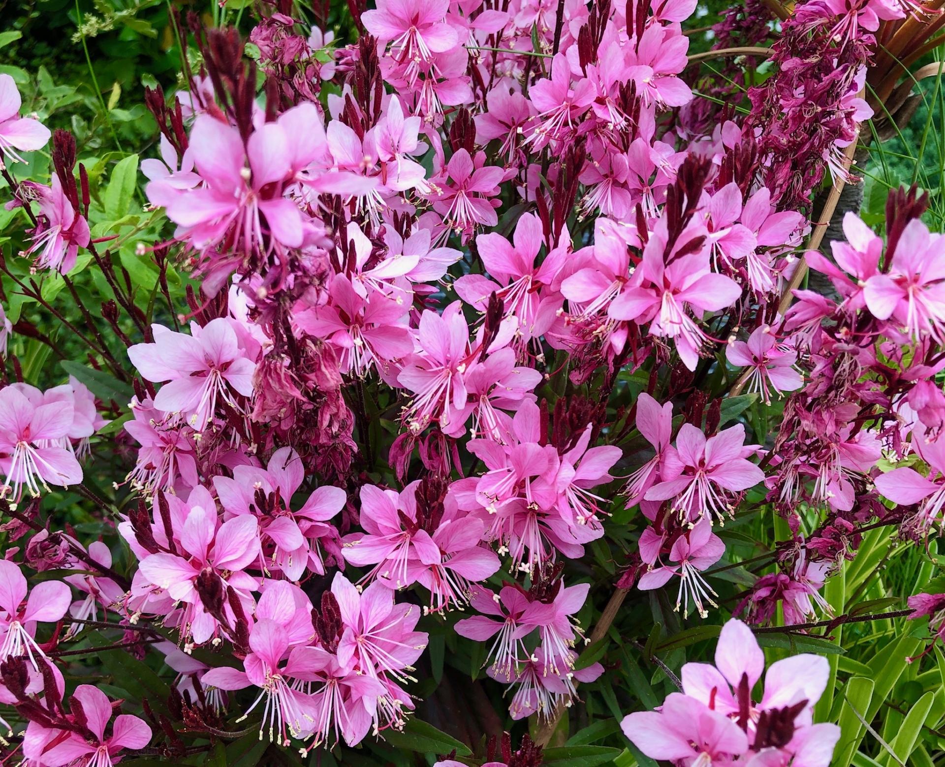 ピンクの蝶のようなお花がたくさんついたガウラ