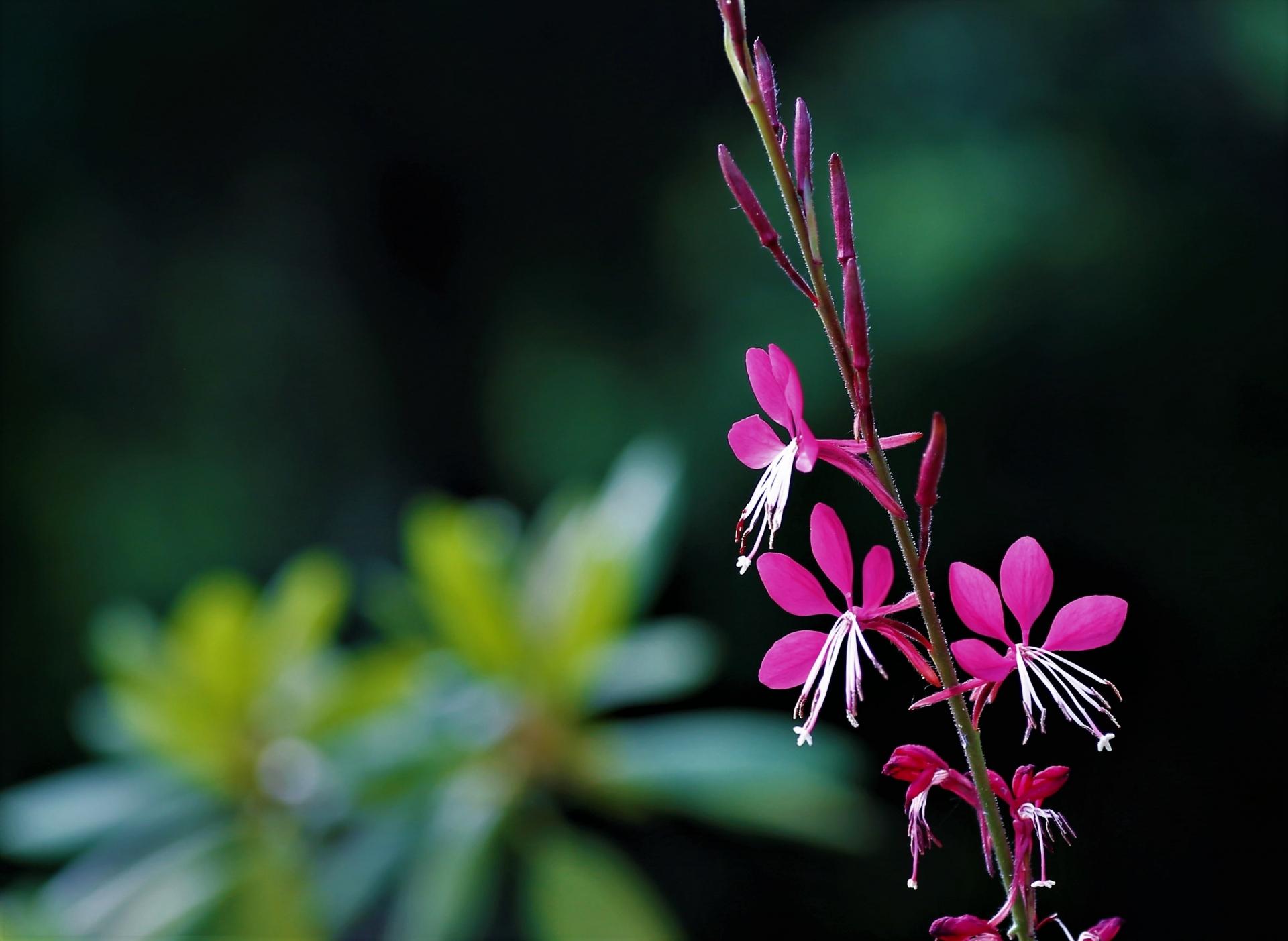 赤みのあるお花のガウラ