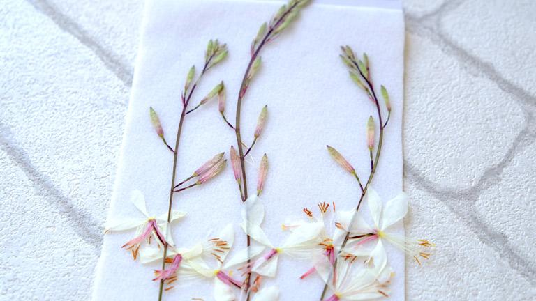 3本のガウラの押し花。