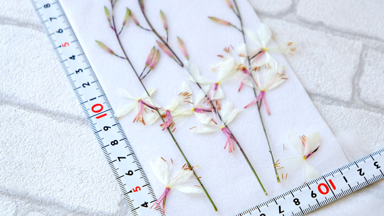 1枝が17~20cmあるガウラの押し花