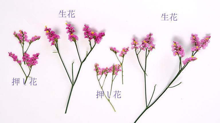 スピンクのターチスの押し花