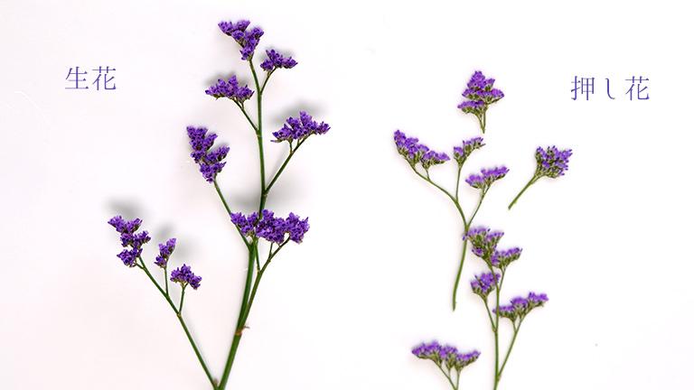 紫の2cmほどの穂状の花が10cmほどの茎に6~7穂ついている
