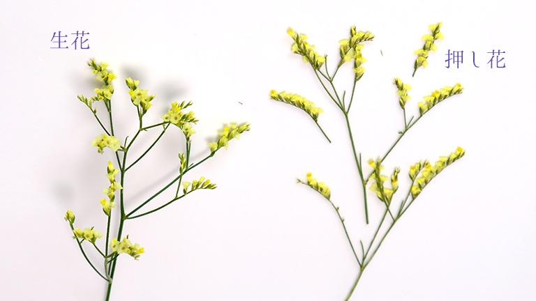 黄色のスターチスの押し花、茎に2~3cmの穂状の黄色い花がついている