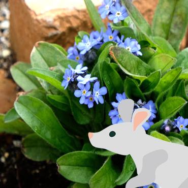 ネズミの耳のようなワスレナグサの葉っぱ。