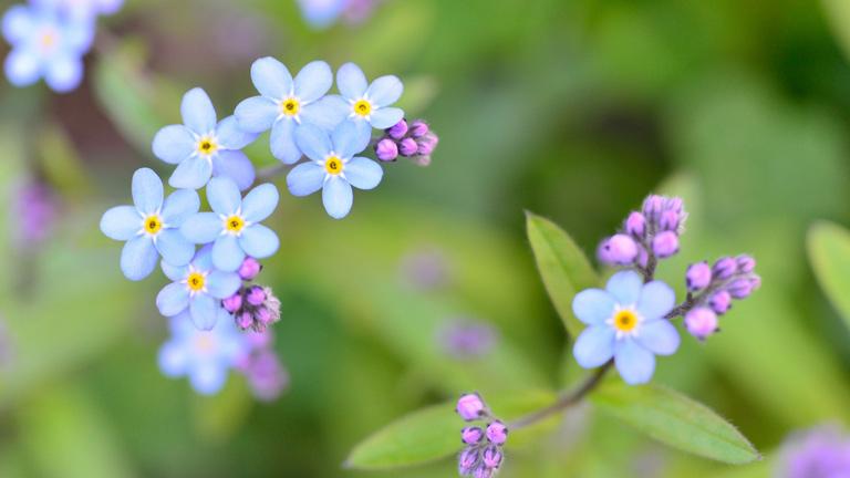 水色の小さな花がたくさんついている。ピンクのつぼみが脇から顔を出している。可愛いワスレナグサ。