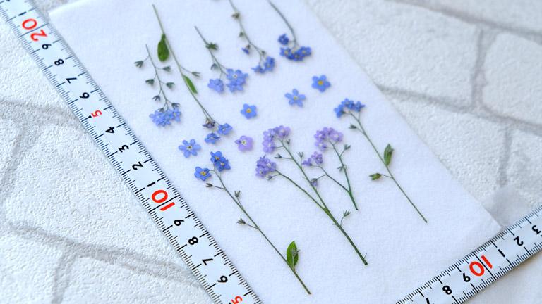 1cmみたない小さな水色のお花の忘れな草。物差しとともに。