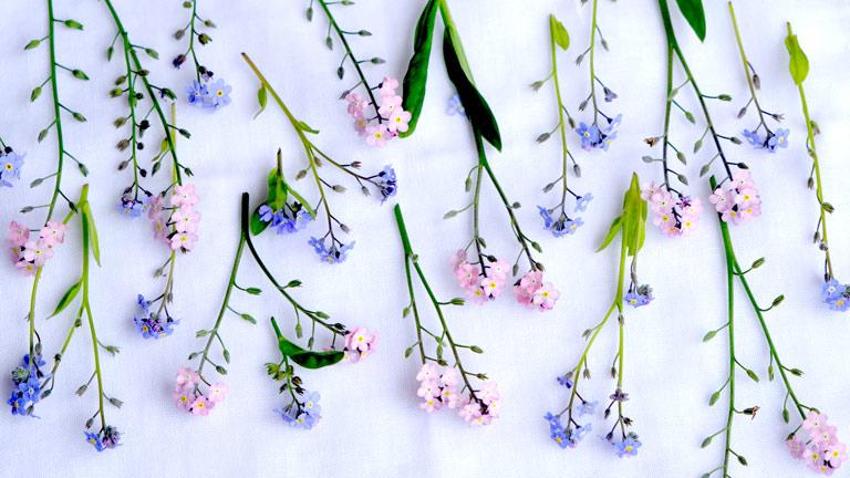 ピンクと水色の忘れな草を採取し、広げている。2本の茎がくっついている。