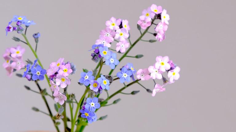 水色とピンクの忘れな草。一つの茎に花が2~8輪ついている。