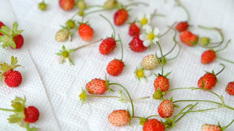 食べるイチゴを1cmほどに小さくした感じのイチゴ。ワイルドストロベリーという。まだ白っぽいものや白い花も収穫できました。