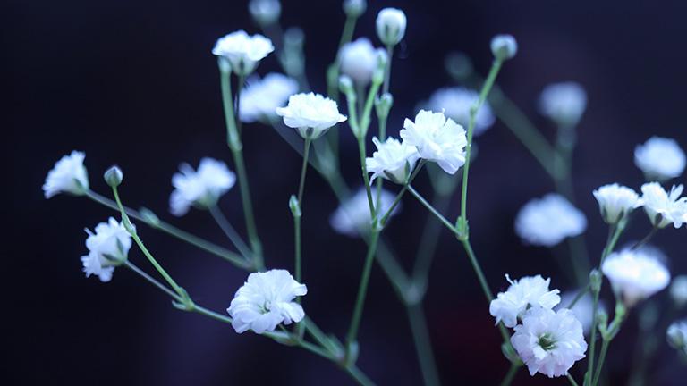 暗い背景の中に白いかすみ草が際立つ。マクロで撮ったかすみ草