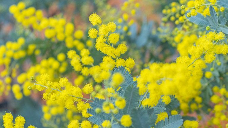 イエローの小さな粒々のお花が可愛いミモザ。ブルーグリーンの葉とのコントラストが美しい
